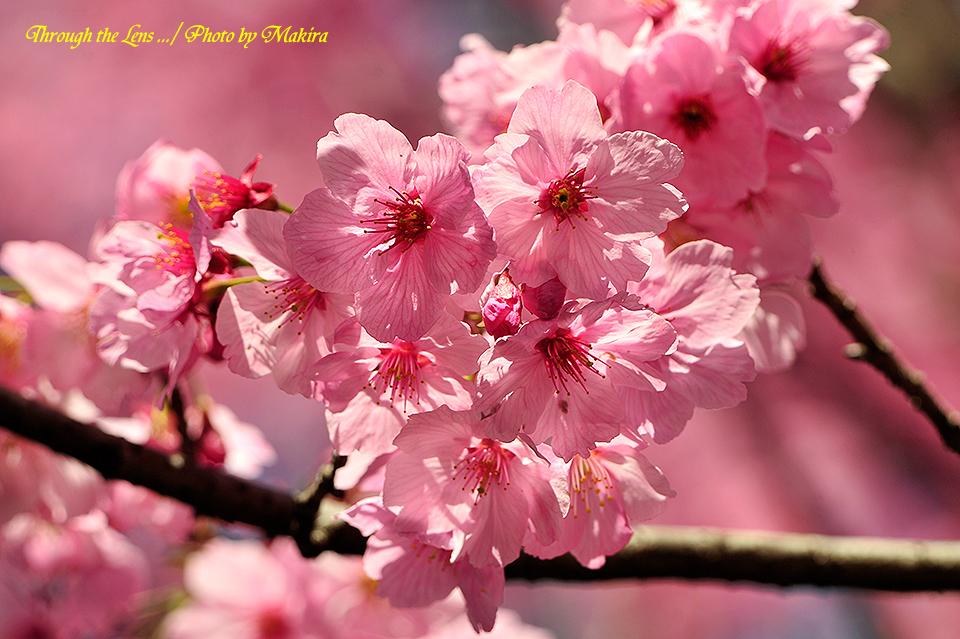 ヨウコウザクラ(陽光桜)3