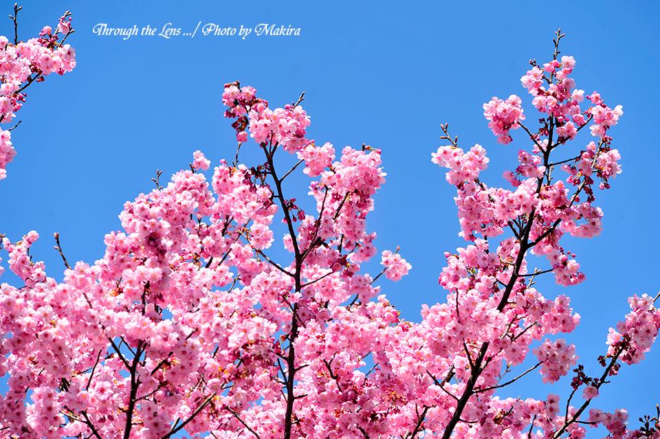 ヨウコウザクラ(陽光桜)4