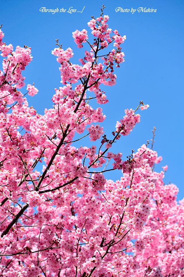 ヨウコウザクラ(陽光桜)5