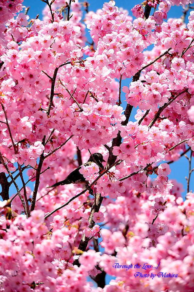 ヨウコウザクラ(陽光桜)6