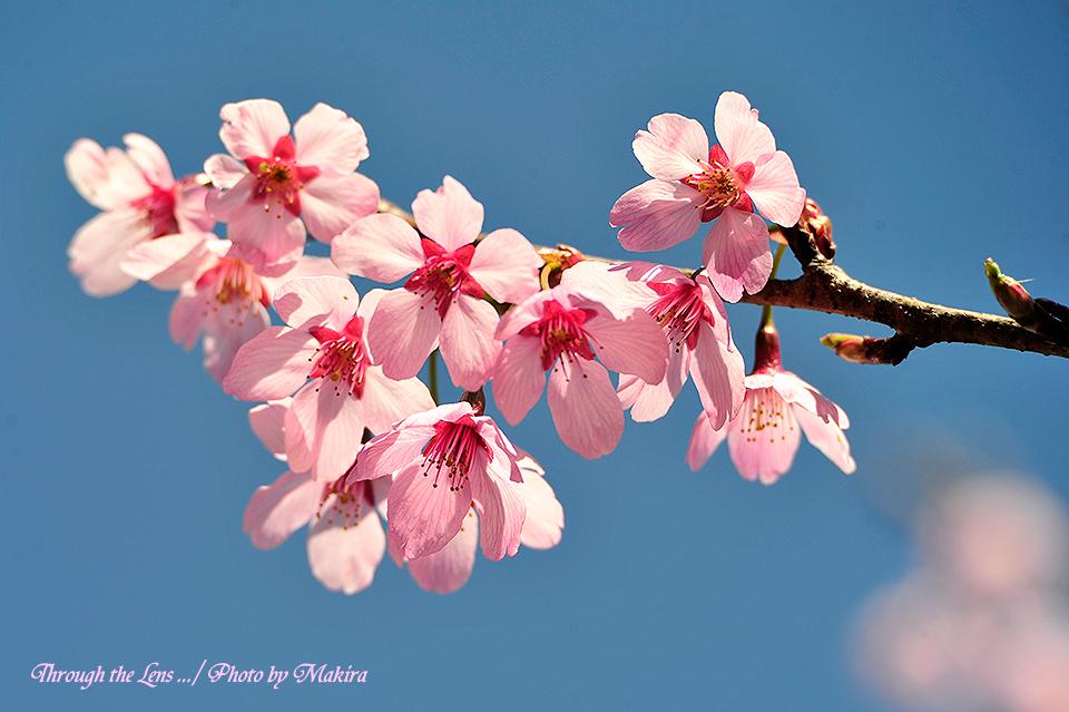 プリンセス'雅'(桜)1