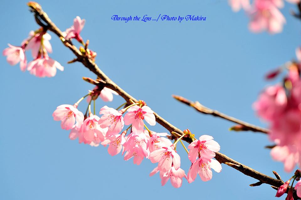 プリンセス'雅'(桜)3