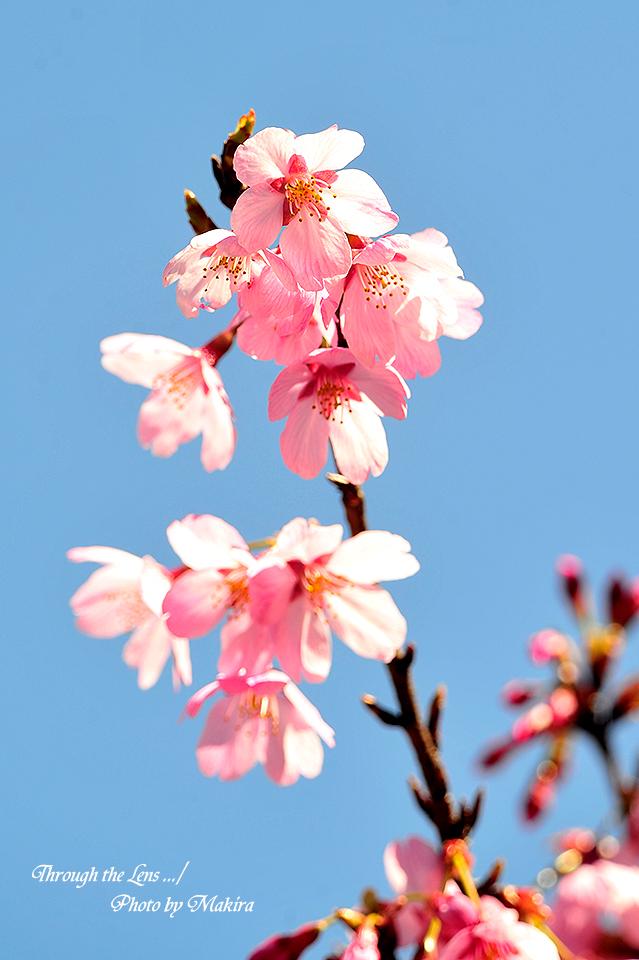 プリンセス'雅'(桜)2