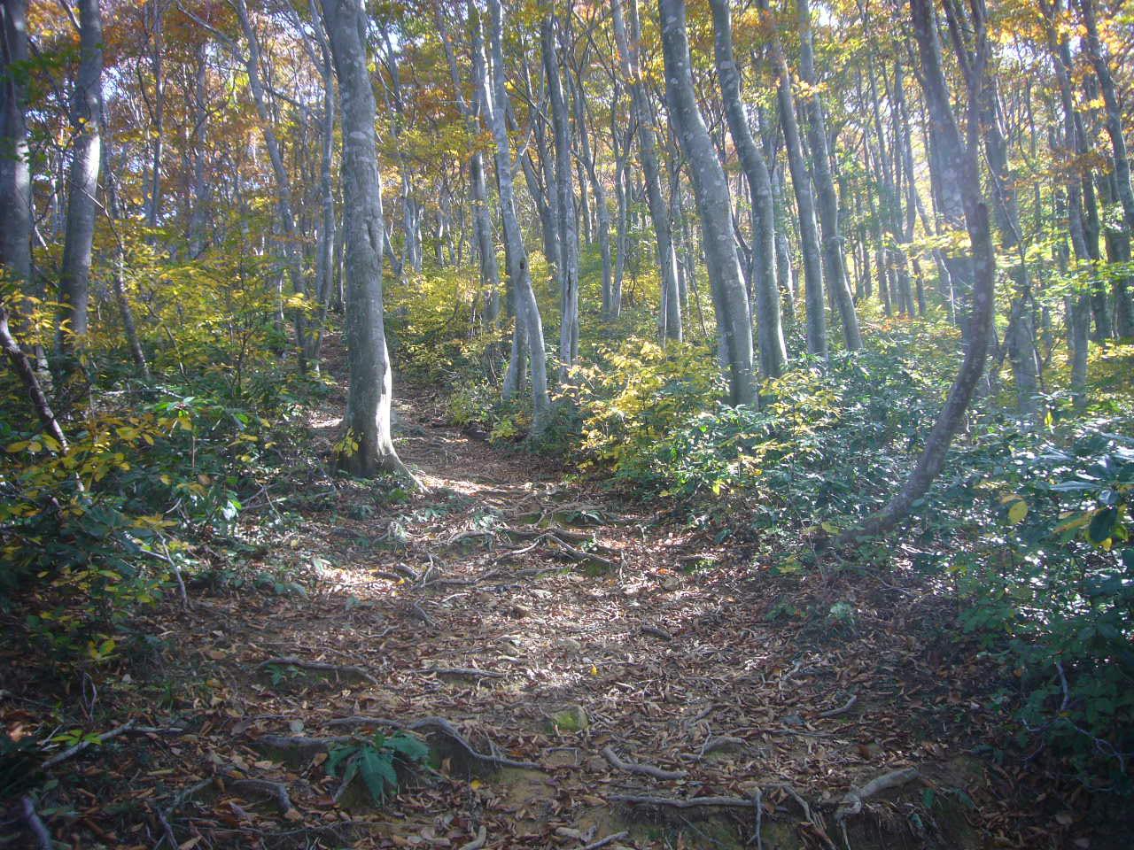 木漏れ日のブナ林 H27.10.21