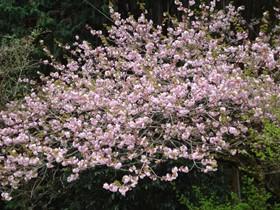 201604ボタン桜