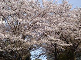 201604桜a