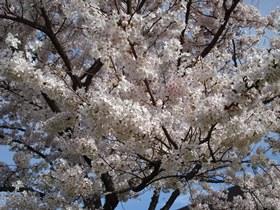 201604桜b