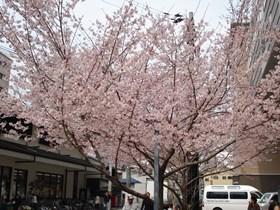 201604桜御池