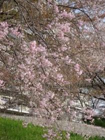 201604枝垂桜