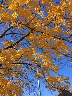 Yellow leaves blue sky