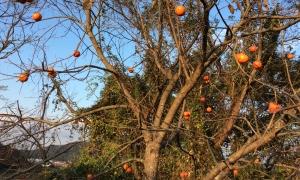 今年の渋柿