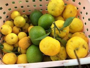 柑橘類の収穫