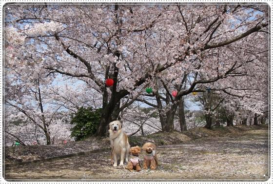 2016,4,6桜4