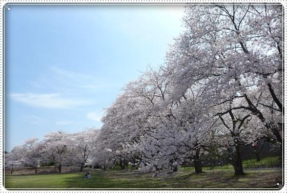 2016,4,6桜3