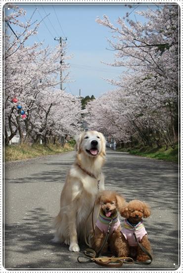 2016,4,6桜2