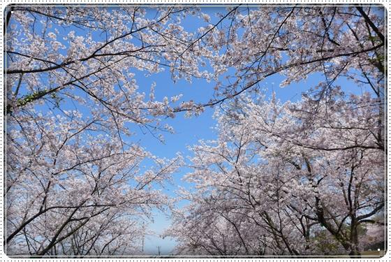 2016,4,6桜1
