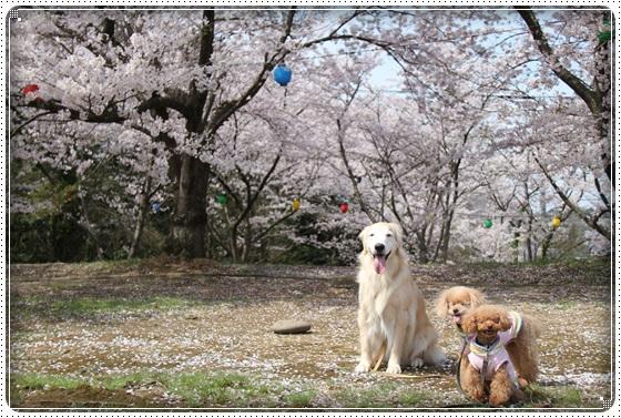 2016,4,6桜11