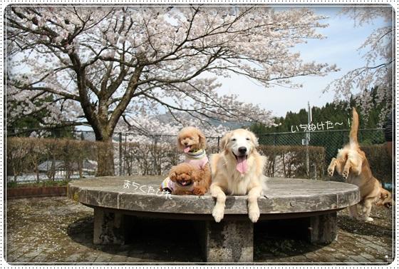 2016,4,7桜6