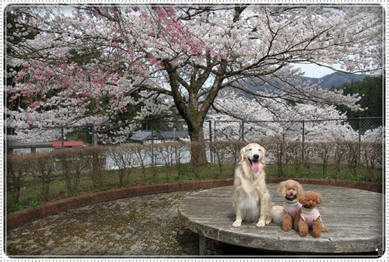 2016,4,7桜1