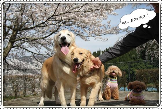 2016,4,7桜15