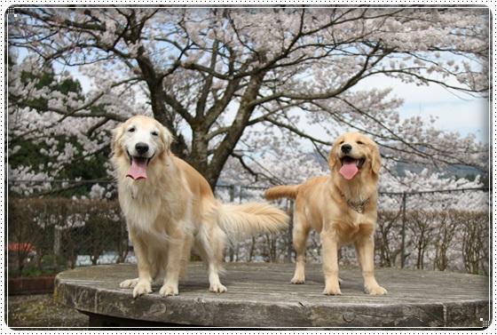 2016,4,7桜22