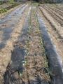 H28.3.26トウモロコシ定植①(74P)@IMG_8232