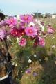摘み取ったコスモスの花