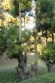 京都府の北山杉