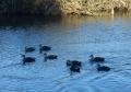 川を泳ぐカモたち