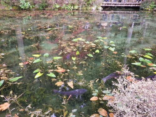 モネの池 2015 11 22-14