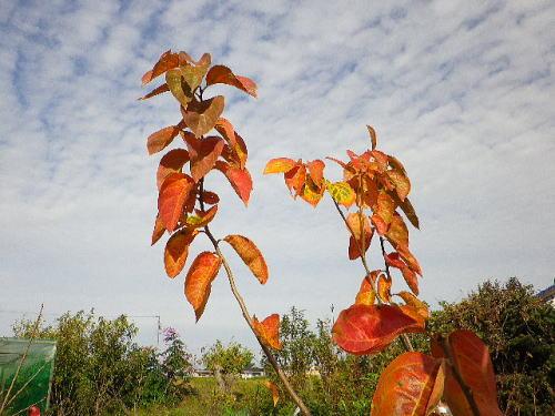 柿の紅葉 2015 11 21