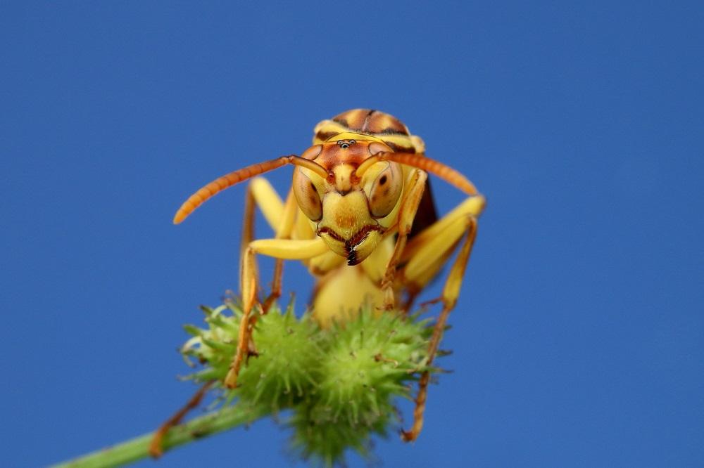 ムモンホソアシナガバチ (1)bv