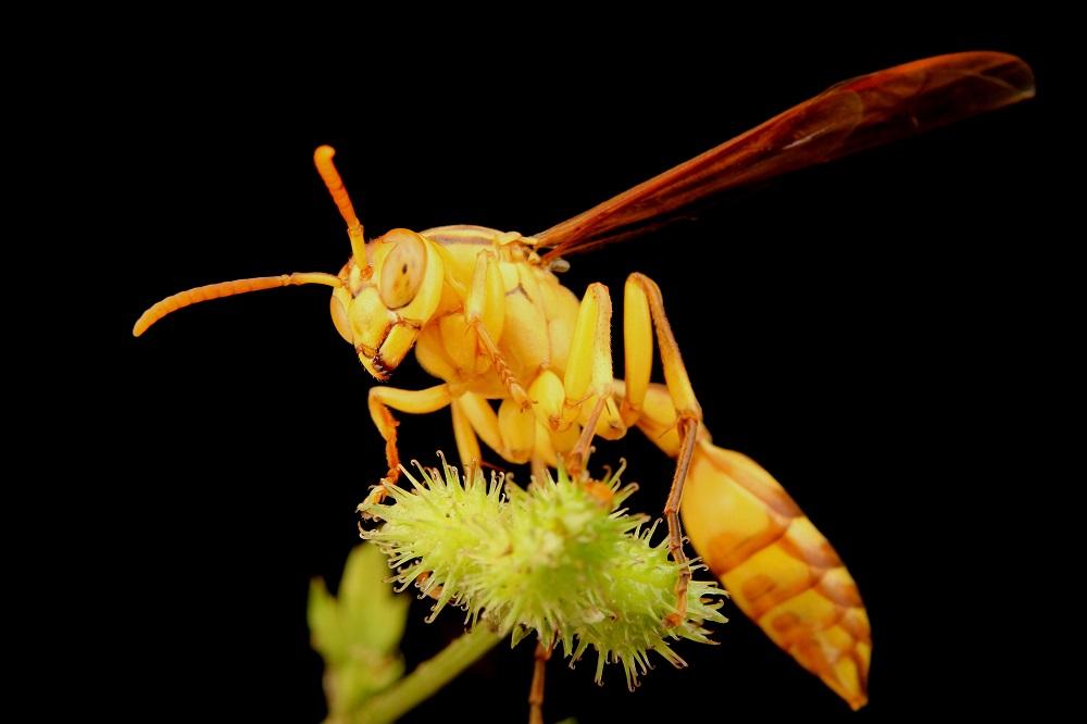ムモンホソアシナガバチ (3)bv