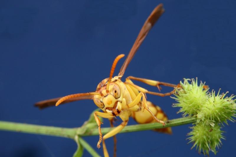 ムモンホソアシナガバチ (4)bv