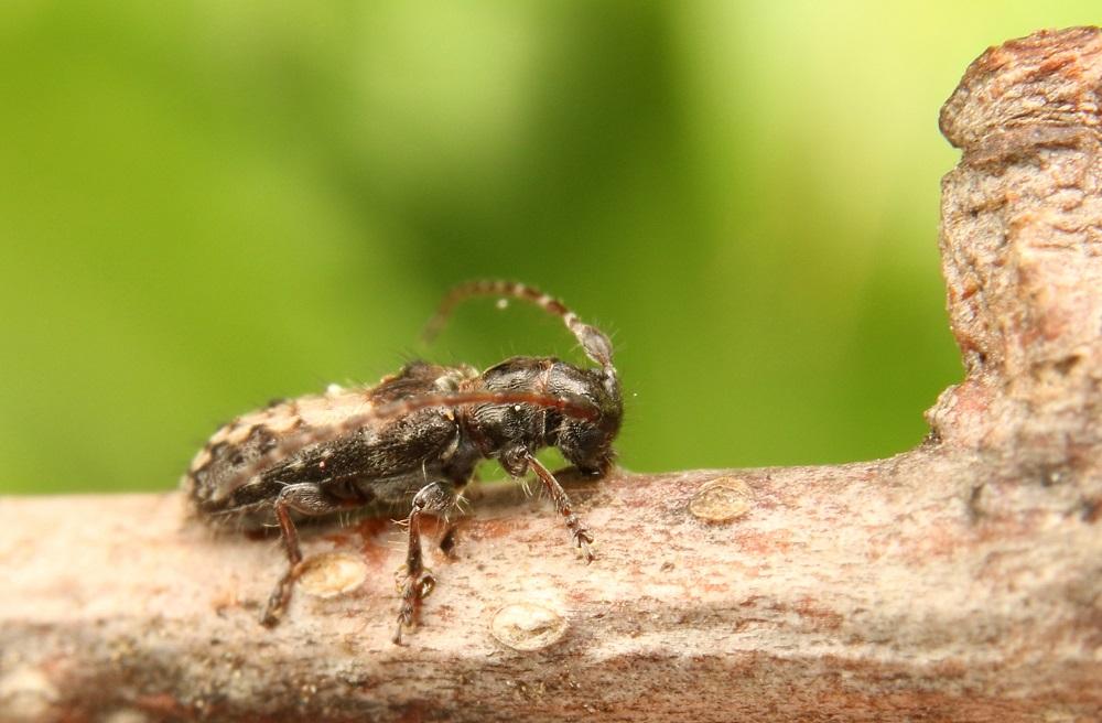ヘリグロチビコブカミキリ (1)bv