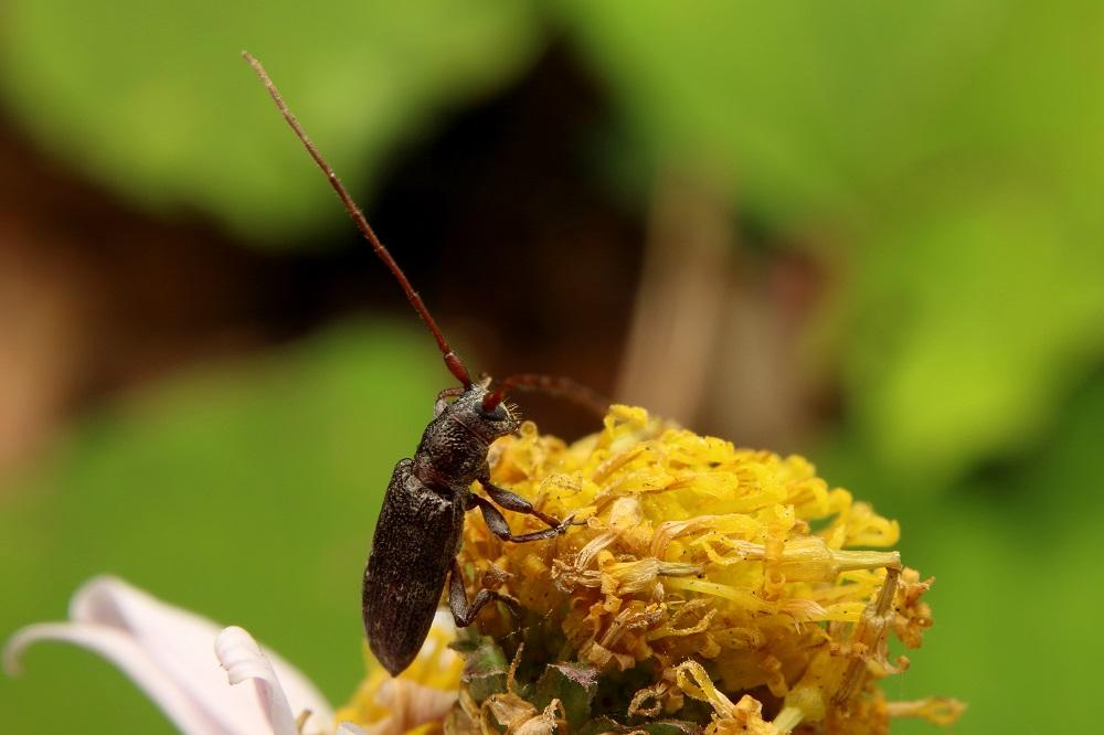 シロオビチビカミキリ (2)b