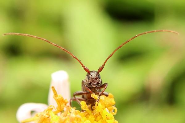 シロオビチビカミキリ (3)b