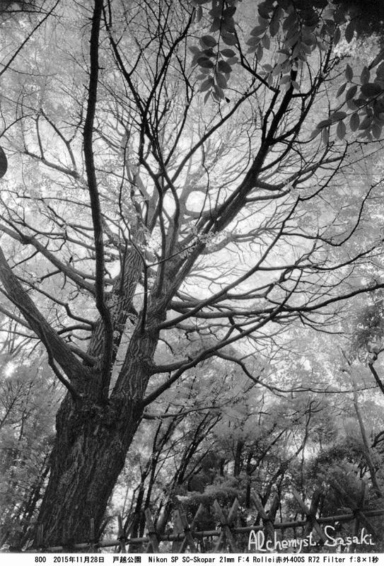 戸越公園の銀杏800-35