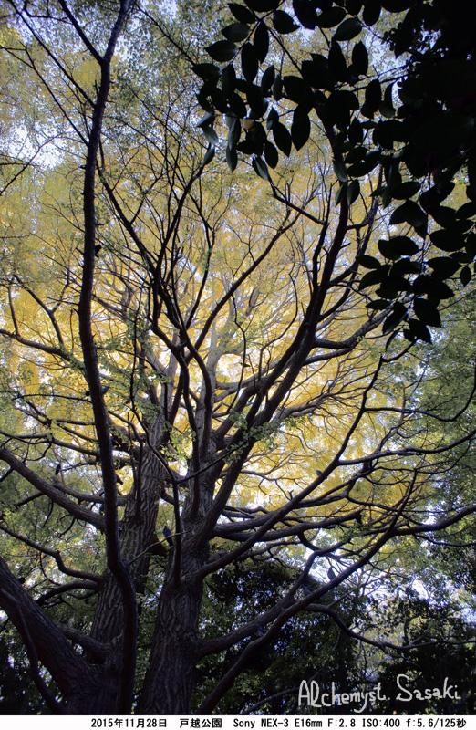 戸越公園の銀杏DSC05481