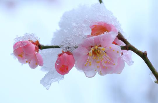 雪を纏って凍てつく紅梅の花