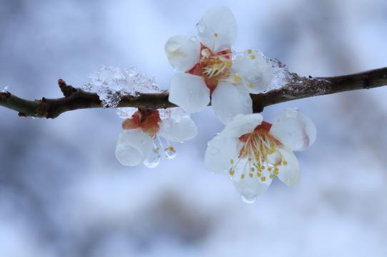 雪をまとう白梅
