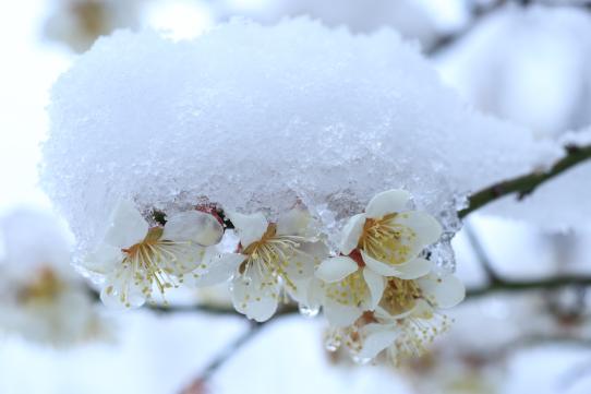 雪を被った白梅