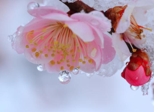 凍てつく水滴に梅木写してなお赤く