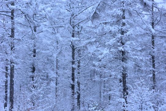 降雪のカラマツ林