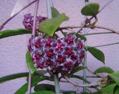 ホヤ・プビカリクスの花