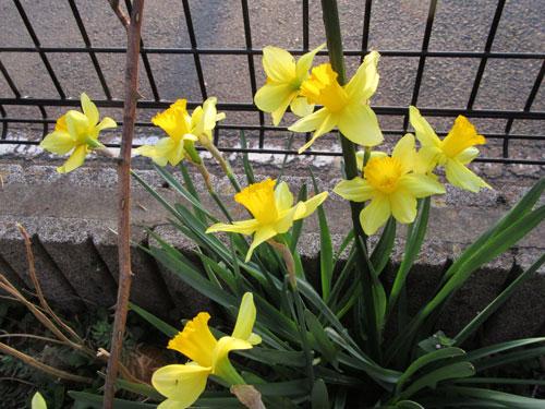 ラッパ咲きスイセン