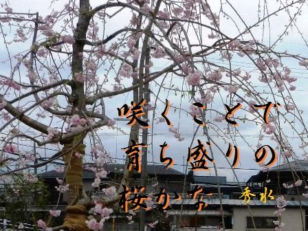 sakukoto01.jpg