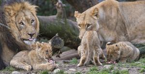 ライオンの家族