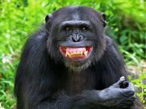 チンパンジーのグリマス