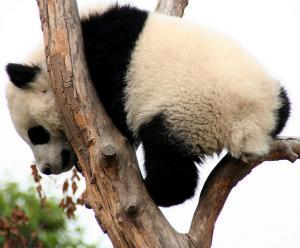 パンダのしっぽ